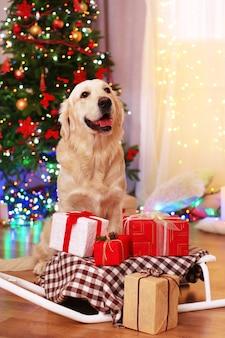 Лабрадор сидит возле саней с подарочными коробками на деревянном полу и фоне новогодней елки