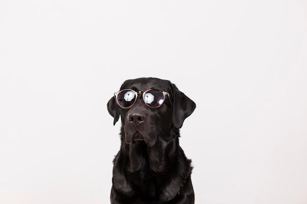 Портрет красивого черного labrador нося современные солнечные очки.