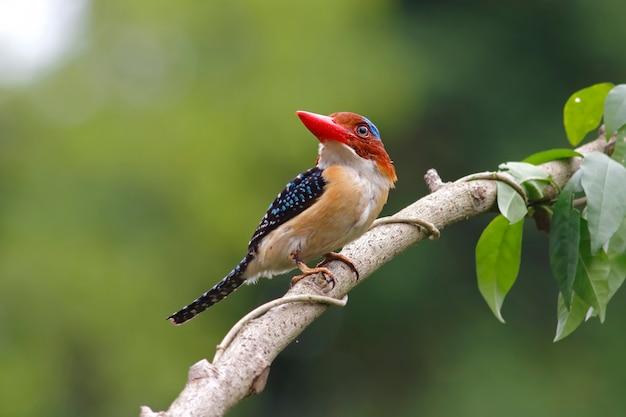 縞模様のカワセミlacedo pulchellaタイの美しい男性の鳥