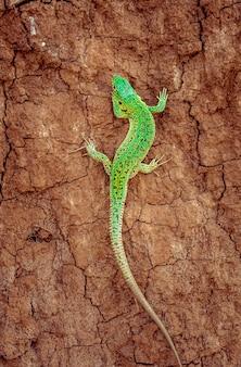 茶色のひびの入った地面に緑の砂のトカゲlacerta agilis