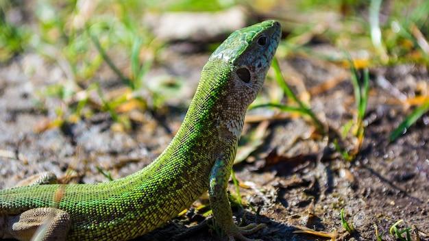 ヨーロッパの緑色のトカゲlacerta viridis sunbathing。