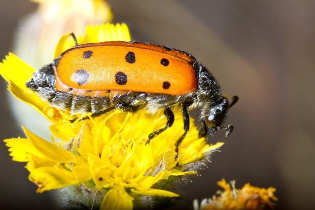 Lachnaia sexpunctata насекомое