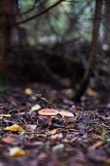 털이 많은 우유 모자 또는 수염이 난 우유 모자로 알려진 lactarius torminosus