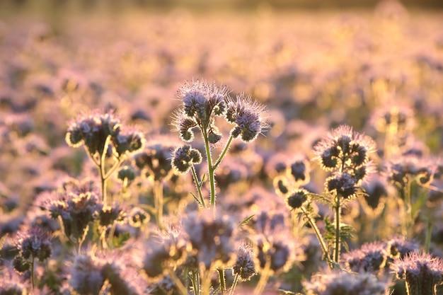 日の出中のハゼリソウ(phacelia tanacetifolia) Premium写真