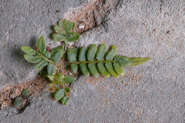 Ladder fern plant of the species pteris vittata