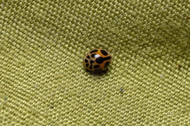 Леди жук вида tenuisvalvae notata