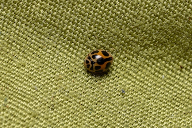 Lady beetle of the species tenuisvalvae notata