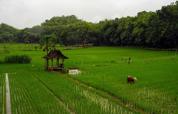 녹색 논에 레이디 농부입니다.