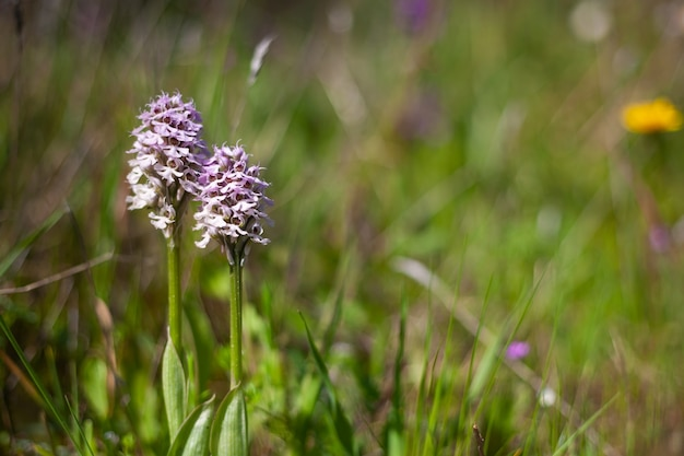 Lady orchid orchis purpurea 개화 보호 식물