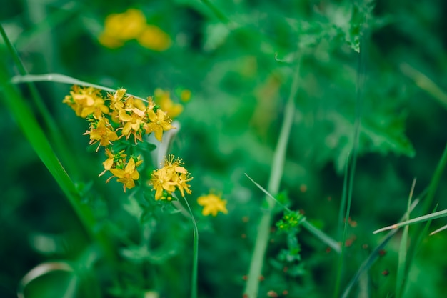 Lady's bedstraw or yellow bedstraw.