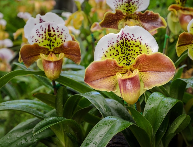 Lady slipper orchid or paphiopedilum slipper orchid