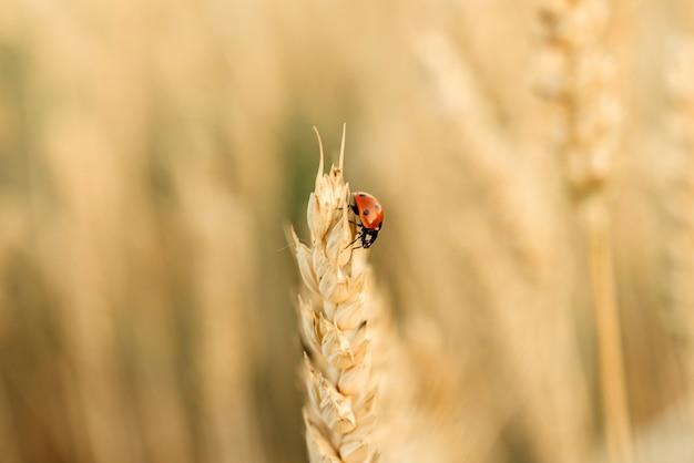 Божья коровка ползет по колосью пшеницы на желтом пшеничном поле, урожай пшеницы летом сельскохозяйственный фон