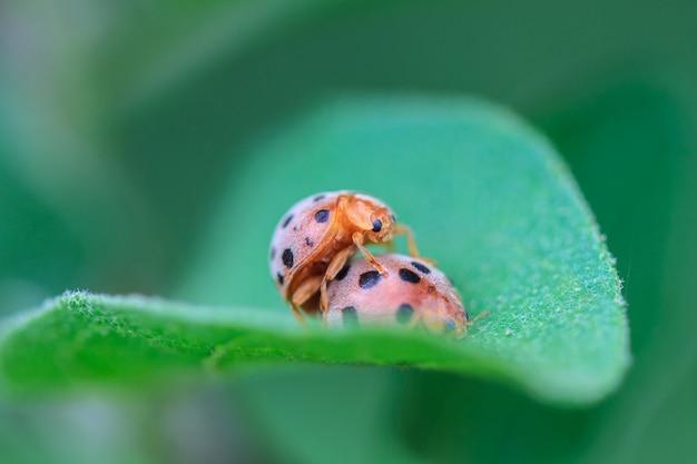 Ladybird on green leaf