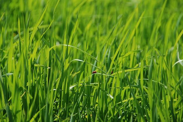 背景の緑の草のテントウムシ