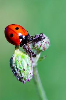 てんとう虫と緑の刃のアリ。 2匹のアリがてんとう虫を追放します。マクロ、シャープネスの深さが浅い