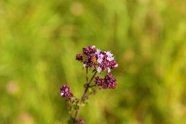 緑の背景にてんとう虫と花。紫の花のテントウムシ