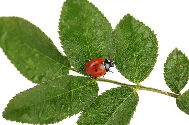 Ladybug on green leaf isolated on white