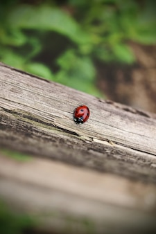 The ladybug is walking along weathered old wooden board, outgoing on green background, for wallpaper use. soft focus concept. ladybug macro. blurred.
