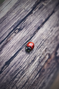 The ladybug is walking along weathered old wooden board, for wallpaper use. soft focus concept. ladybug macro. blurred.