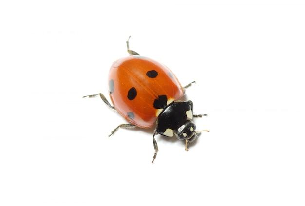 Ladybug isolated on white wall
