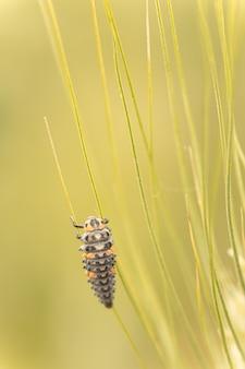 Личинка божьей коровки на растении в дикой природе