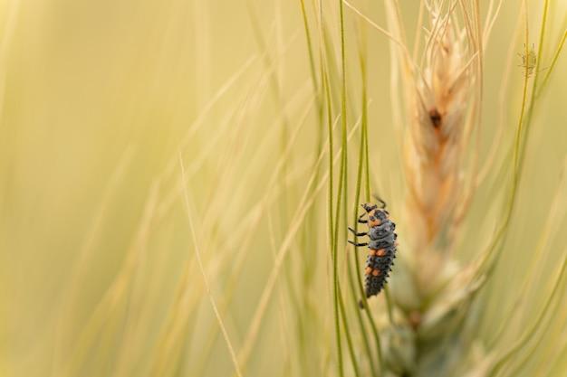 Личинка божьей коровки на пшенице в дикой природе