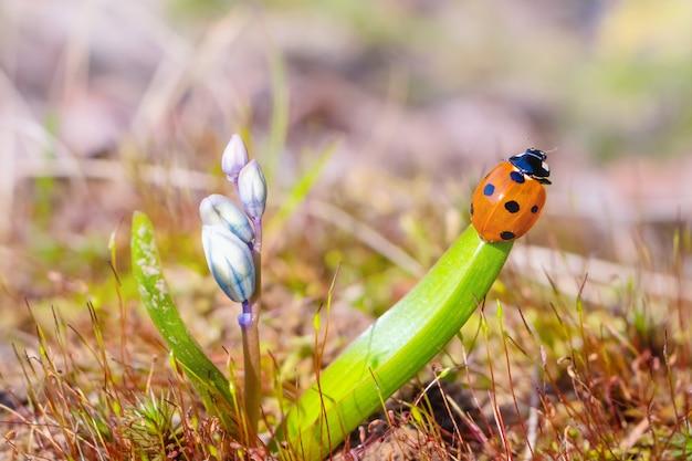 Ladybug on a leaf of blue flower. summer macro landscape in bright sunlight.