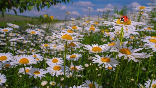 Божья коровка на цветке ромашки в поле летом на природе