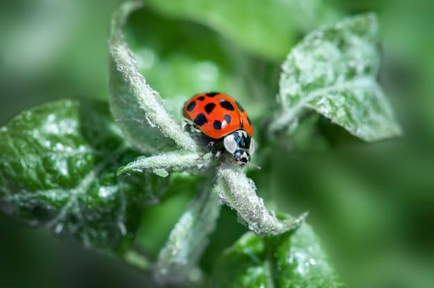 자연 환경에서 녹색 지점에 무당 벌레