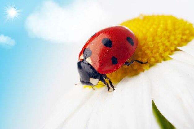 青い空の下でカモミールの花のてんとう虫
