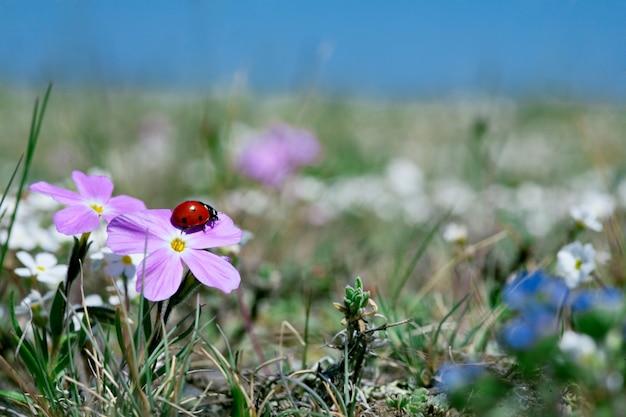 牧草地の花のてんとう虫