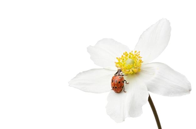 白い背景の上に花のてんとう虫