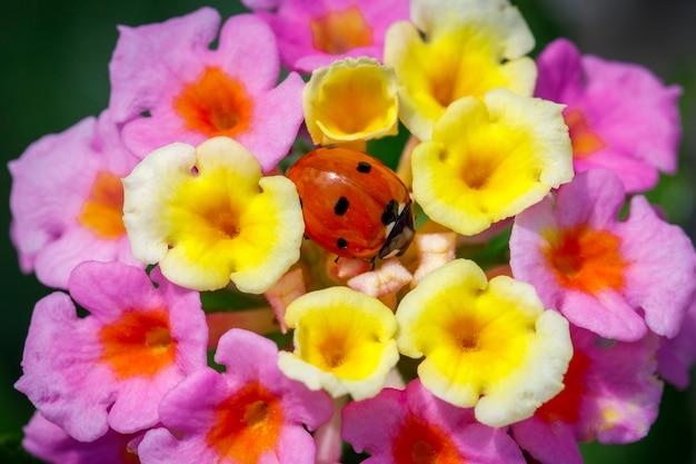 てんとう虫は花の真ん中に座っています