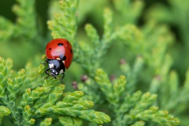 てんとう虫はモミの木に座っています