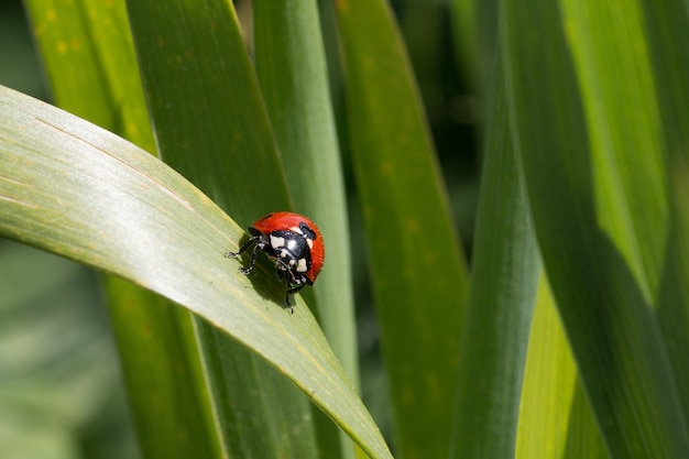 Ladybug sitting on a green leaf behind many others