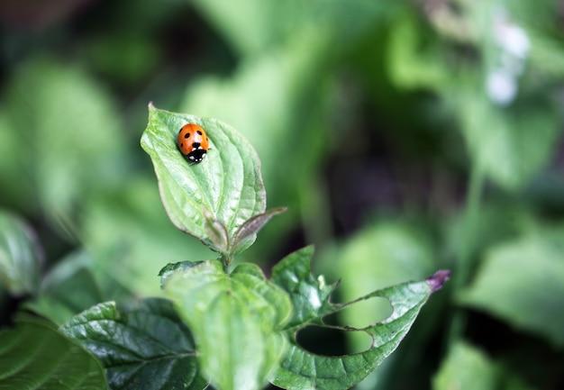 コノハムシの暖かい春の日に花の葉の上に座っているてんとう虫