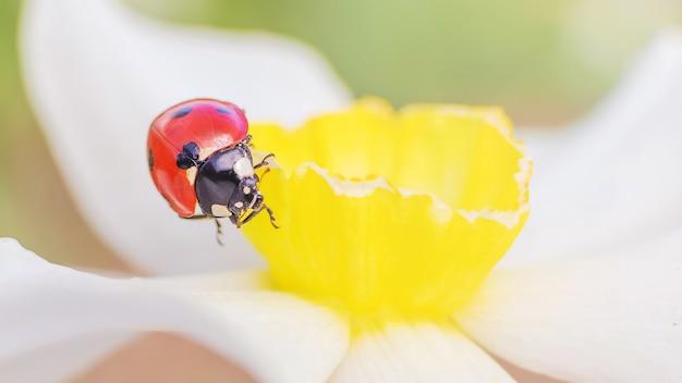 白い水仙の上に座っててんとう虫。明るいバナー16:9.夏の概念、自然。