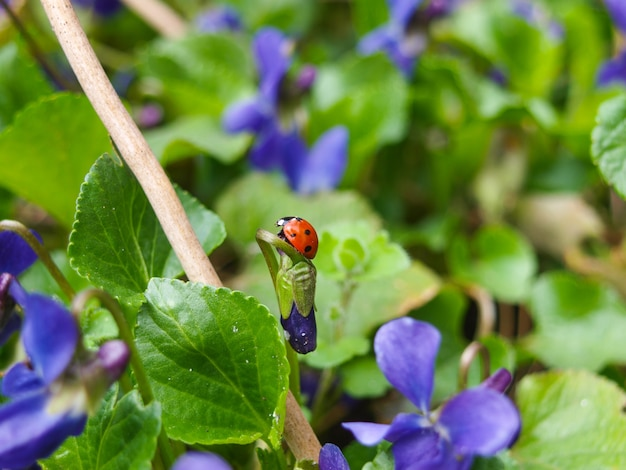 Ladybug on the sweet violet in the spring.