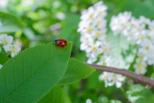 Ladybug and white blooming bird cherry flowers. red ladybug sitting on white flower and green leaf in the springtime.