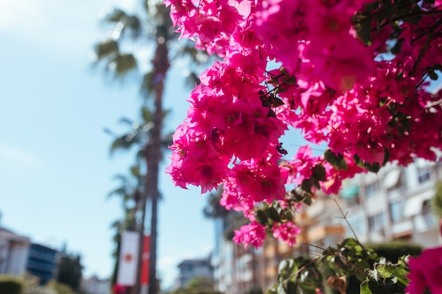 Lagerstremia blooms on the streets of turkey