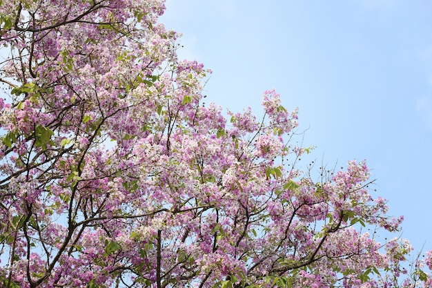 Lagerstroemia 꽃 또는 정원에서 tabak 꽃.