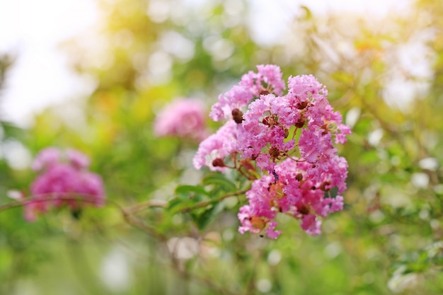 Lagerstroemia speciosa or bang lang flower of indian subcontinent.