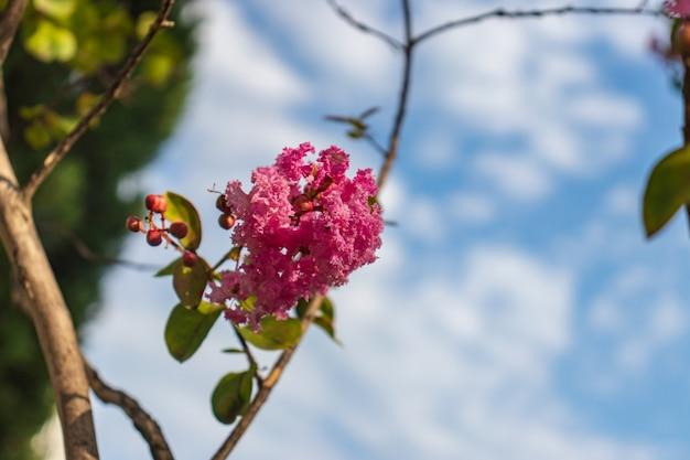 Цветет лагерстромия или индийская сирень. яркий солнечный день. отличный фон для сайта.