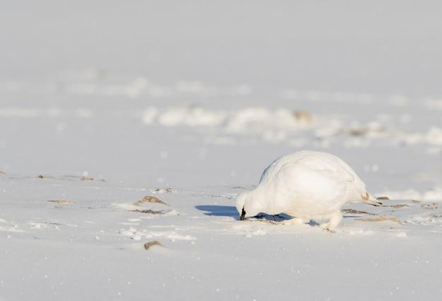 スバールバル諸島で雪の中で食べ物を探して、スバールバル諸島の岩のライチョウ、lagopus muta hyperborea、冬の羽を持つ鳥
