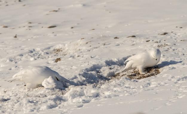 スバールバル諸島で雪の中で食べ物を探して冬の羽毛を持つスバールバル岩ライチョウ、lagopus muta hyperborea