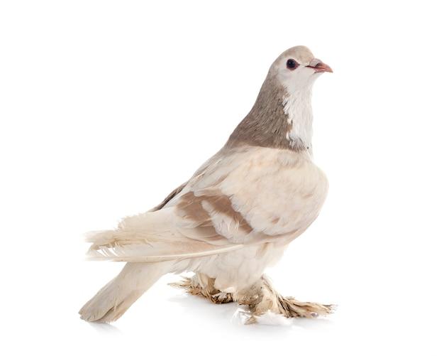 Лахорский голубь перед белой поверхностью