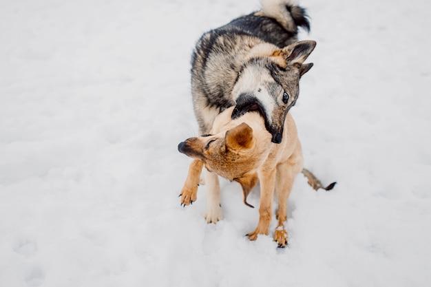 ライカは犬と積極的に遊ぶ2匹の犬が戦う