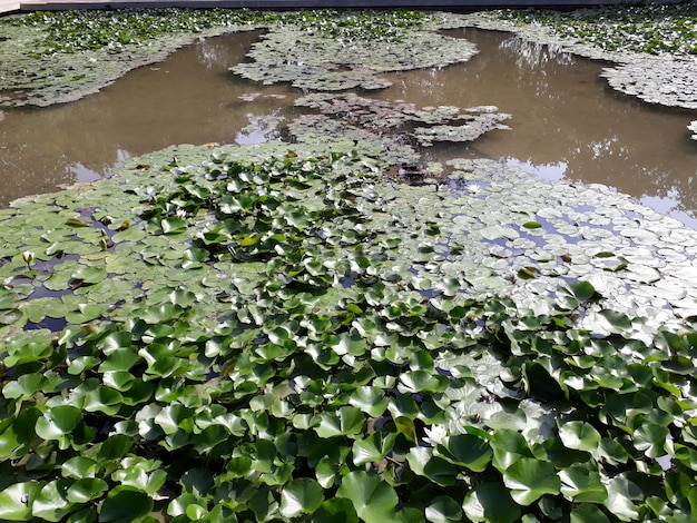 Lake covered with water lilies in bloom and large green leaves.