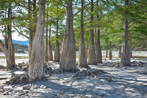スッコのサイプレス湖。アナパのアトラクション。緑の湖。ロシアの性質。乾燥した湖。乾燥した湖の糸杉。気候の変化。