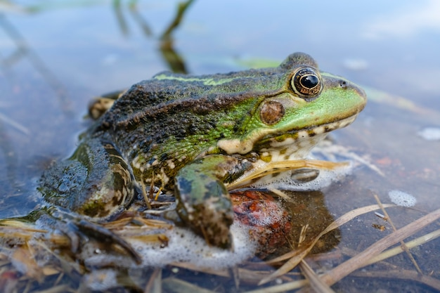 Lake frog (pelophylax lessonae), marsh frog (pelophylax ridibundus), edible frog (pelophylax esculentus) in the pond. the green frog is hiding in the water. high quality photo